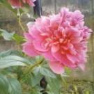 高岡の実家の花